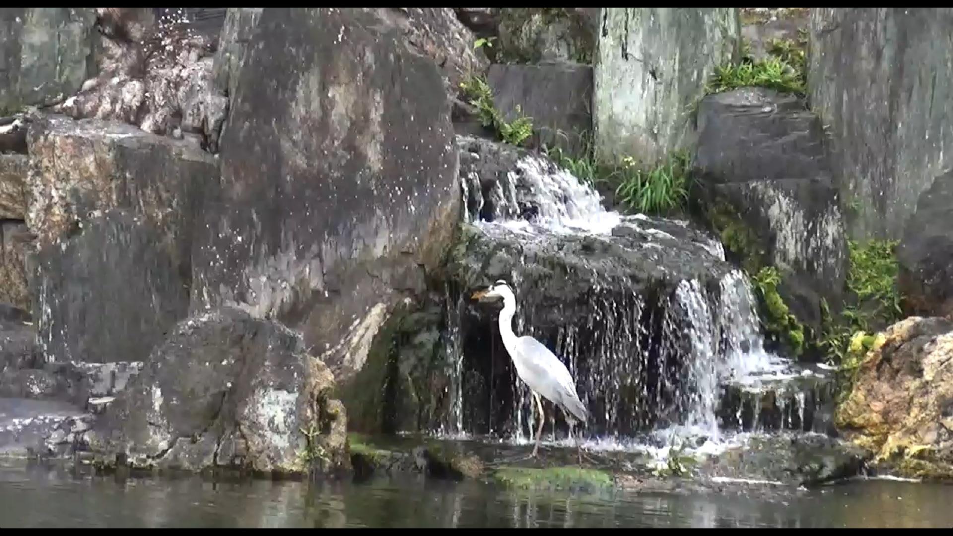 Fischreiher im Ninomaru Garten