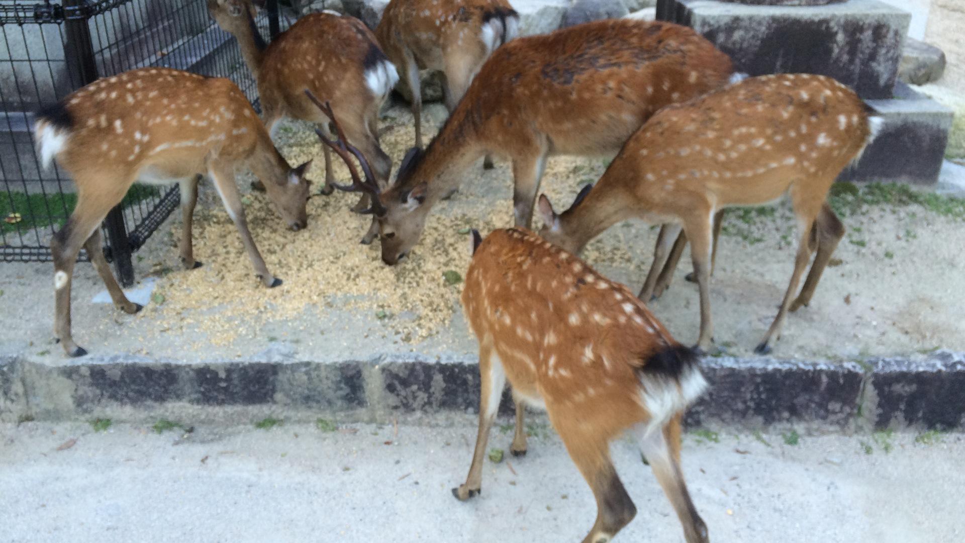freilaufende Rehe und Hirsche werden gefüttert