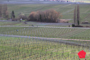 Strollers roam vineyards near the Villa Ludwigshöhe